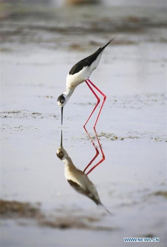 A black-winged stilt is seen at Xihai wetland in Jinpu New District in Dalian, northeast China\'s Liaoning Province, June 11, 2019. (Xinhua/Piao Feng)
