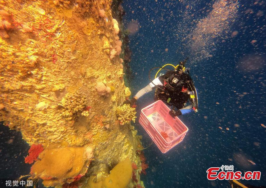 The scuba diving marine ecologists use chisels and hammers to remove the coral from the jetty pilings. After bringing the coral to the surface, they are taken to the Underwater Observatory Marine Park where they are divided between the reef and a large aquarium. (Photo/Agencies)