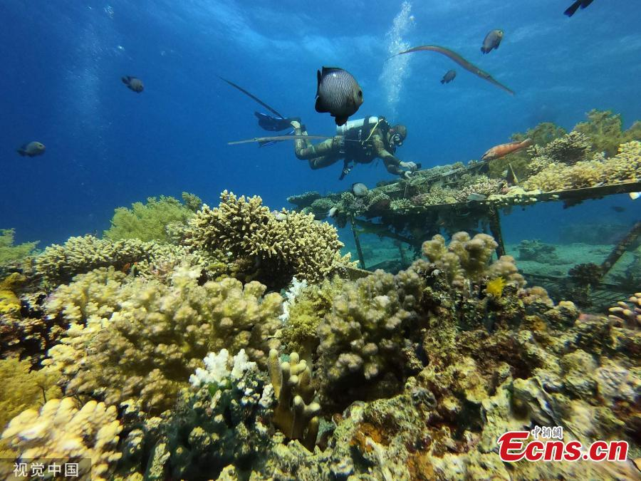 A diver in the Red Sea removes corals off the shore of Eilat in southern Israel. (Photo/Agencies)