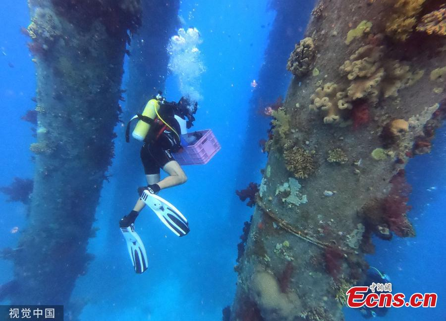 Marine ecologists are removing Red Sea coral and moving them to another site to avoid them perishing during maintenance works on a jetty. (Photo/Agencies)