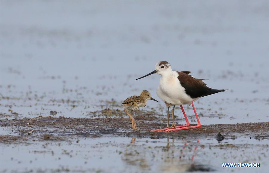 An adult black-winged stilt is seen with a baby black-winged stilt at Xihai wetland in Jinpu New District in Dalian, northeast China\'s Liaoning Province, June 11, 2019. (Xinhua/Piao Feng)