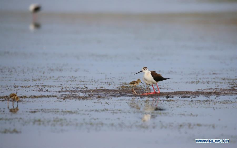 An adult black-winged stilt is seen with two baby black-winged stilts at Xihai wetland in Jinpu New District in Dalian, northeast China\'s Liaoning Province, June 11, 2019. (Xinhua/Piao Feng)