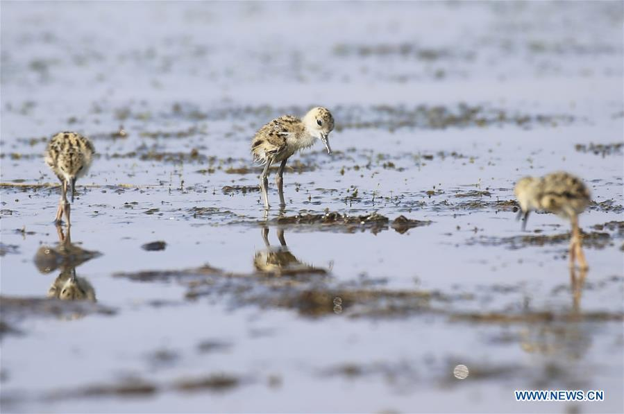 Baby black-winged stilts are seen at Xihai wetland in Jinpu New District in Dalian, northeast China\'s Liaoning Province, June 11, 2019. (Xinhua/Piao Feng)
