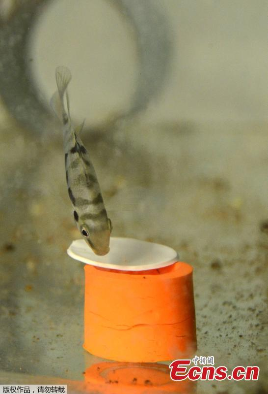 This picture taken and released by the CNRS of the Bourgogne University shows a haplochromine cichlids (maylandia estherae) trying to open a box as part of a scientic experiment. Using a behavior test measuring the pessimism of the animal, researchers managed to show that a fish experiences \