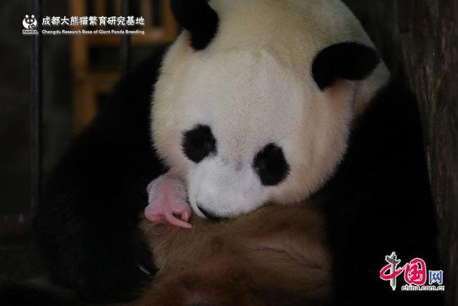A female giant panda cub weighing 42.8 grams, about the weight of an average chicken egg and the world\'s lightest ever, was born in Chengdu, capital of southwest China\'s Sichuan Province, on Tuesday, June 11, 2019. (Photo/china.com.cn)