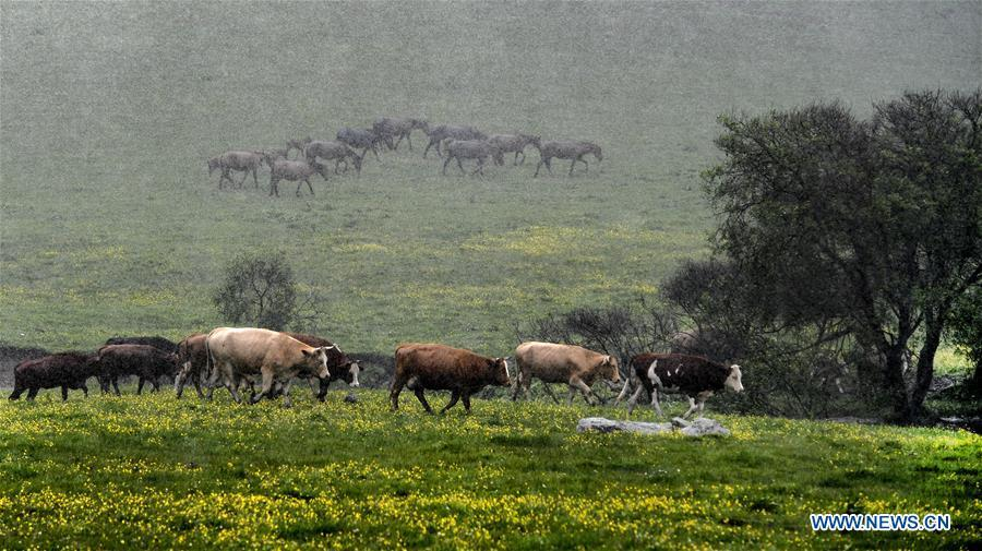 Herds of cattle and horses are seen in the rain at the Guanshan Grassland at Longxian County in Baoji, northwest China\'s Shaanxi Province, June 12, 2019. (Xinhua/Tao Ming)