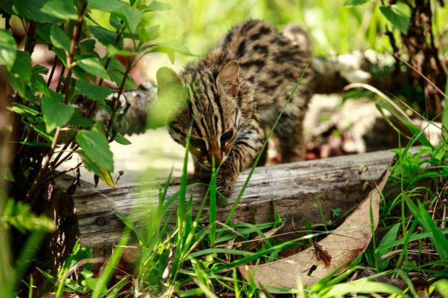 A leopard cat is seen at the Yunnan Puer Taiyanghe Forest Zoo. (Photo provided to chinadaily.com.cn)
