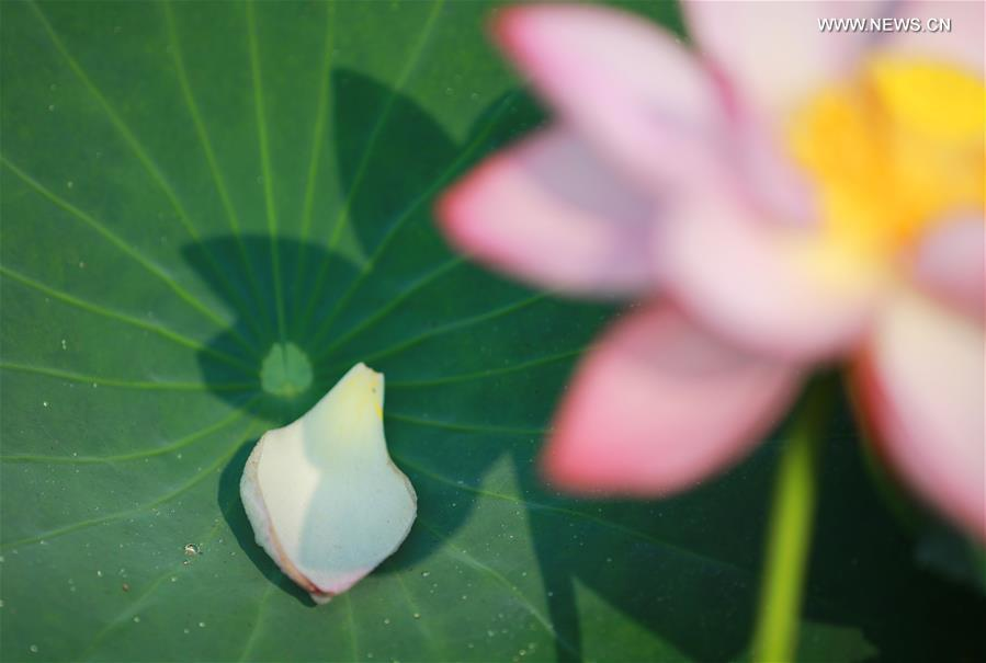 Photo taken on June 15, 2019 shows a lotus flower at Nanhu Park in Hengyang, central China\'s Hunan Province. (Xinhua/Xia Wenhui)