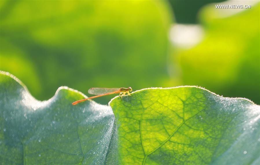 A dragonfly stops on a lotus leaf at Nanhu Park in Hengyang, central China\'s Hunan Province, June 15, 2019. (Xinhua/Xia Wenhui)