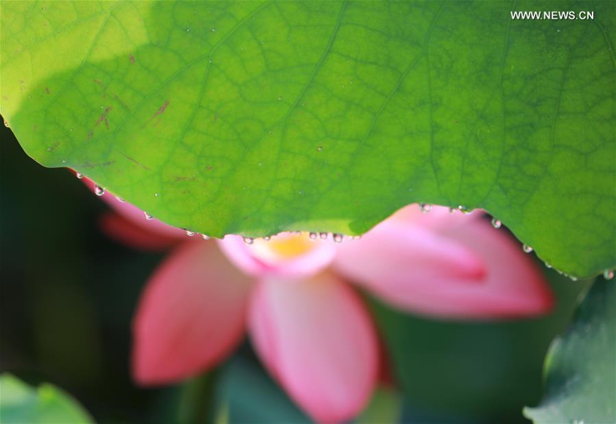 Photo taken on June 15, 2019 shows a lotus flower behind a leaf at Nanhu Park in Hengyang, central China\'s Hunan Province. (Xinhua/Xia Wenhui)