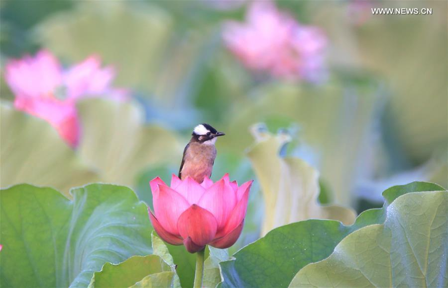 A bird stops at a lotus flower at Nanhu Park in Hengyang, central China\'s Hunan Province, June 15, 2019. (Xinhua/Cao Zhengping)