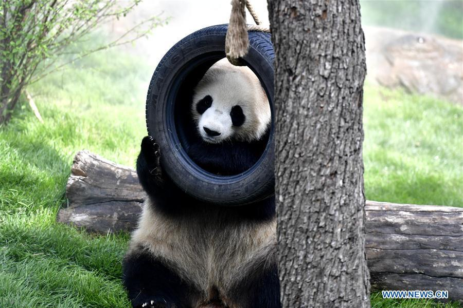 A giant panda is seen in the panda house in the Qinghai-Tibet Plateau Wild Zoo in Xining, capital of northwest China\'s Qinghai Province, June 16, 2019. The panda house in the Qinghai-Tibet Plateau Wild Zoo, where four pandas from the Chengdu Research Base of Giant Panda Breeding live, opened to the public here on Sunday. The four pandas settled down in the plateau city earlier this month. Qinghai Province will launch a series of education activities about giant pandas in the following three years. (Xinhua/Zhang Long)
