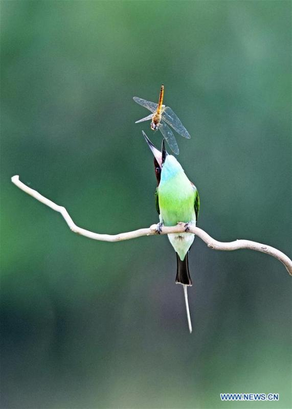 A blue-throated bee eater is seen at Xiexi Village in Luxia Town of Nanping City, southeast China\'s Fujian Province, June 14, 2019. (Xinhua/Mei Yongcun)