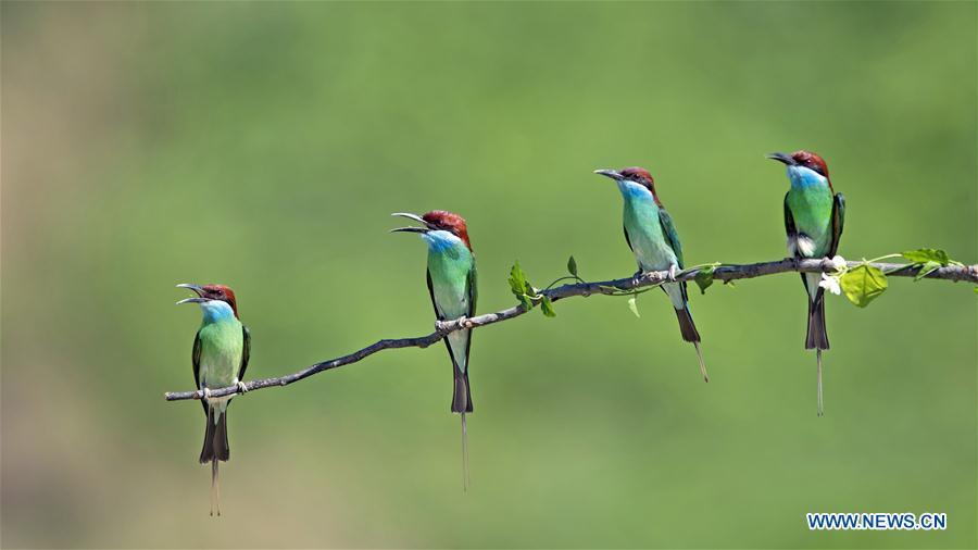 Blue-throated bee eaters are seen at Xiexi Village in Luxia Town of Nanping City, southeast China\'s Fujian Province, June 15, 2019. (Xinhua/Mei Yongcun)