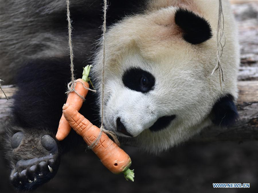 A giant panda eats carrots in the panda house in the Qinghai-Tibet Plateau Wild Zoo in Xining, capital of northwest China\'s Qinghai Province, June 16, 2019. The panda house in the Qinghai-Tibet Plateau Wild Zoo, where four pandas from the Chengdu Research Base of Giant Panda Breeding live, opened to the public here on Sunday. The four pandas settled down in the plateau city earlier this month. Qinghai Province will launch a series of education activities about giant pandas in the following three years. (Xinhua/Zhang Long)