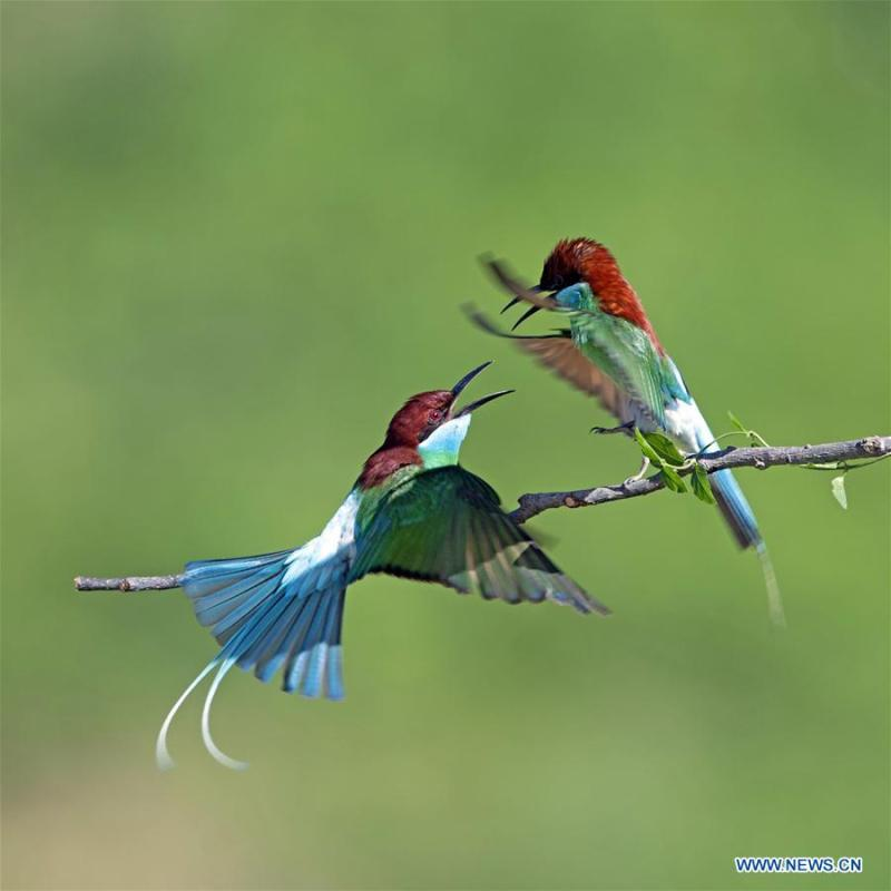 Two blue-throated bee eaters are seen at Xiexi Village in Luxia Town of Nanping City, southeast China\'s Fujian Province, June 15, 2019. (Xinhua/Mei Yongcun)
