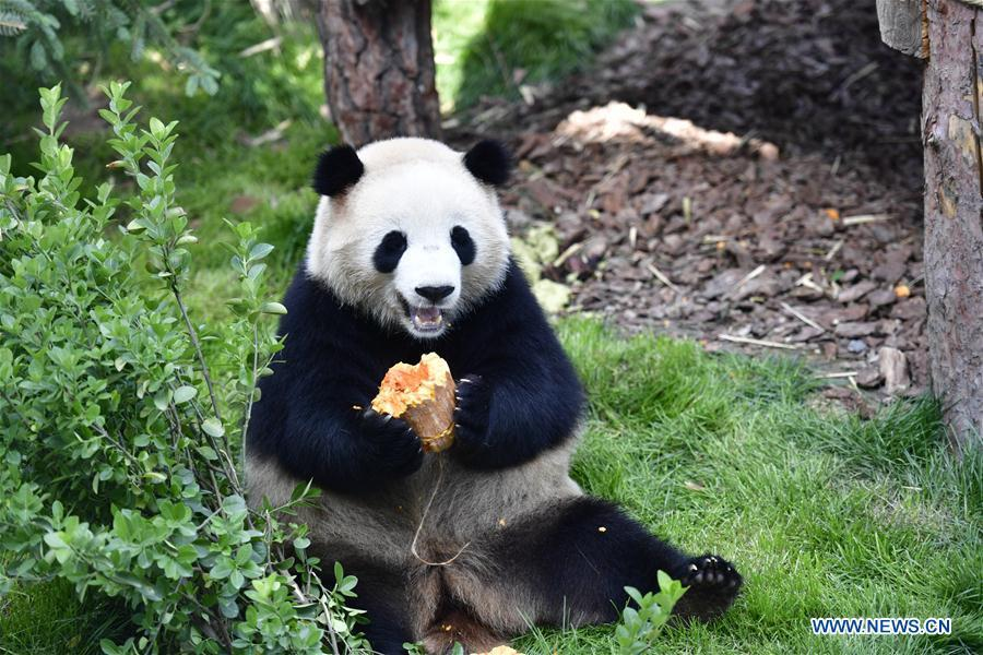 A giant panda eats a pumpkin in the panda house in the Qinghai-Tibet Plateau Wild Zoo in Xining, capital of northwest China\'s Qinghai Province, June 16, 2019. The panda house in the Qinghai-Tibet Plateau Wild Zoo, where four pandas from the Chengdu Research Base of Giant Panda Breeding live, opened to the public here on Sunday. The four pandas settled down in the plateau city earlier this month. Qinghai Province will launch a series of education activities about giant pandas in the following three years. (Xinhua/Zhang Long)