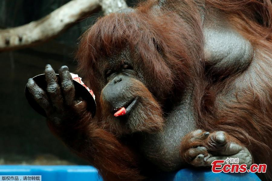 Veteran orangutan Nenette eats a cake as she celebrates her 50th birthday at the zoo of the Jardin des Plantes in Paris, France, June 16, 2019. (Photo/Agencies)