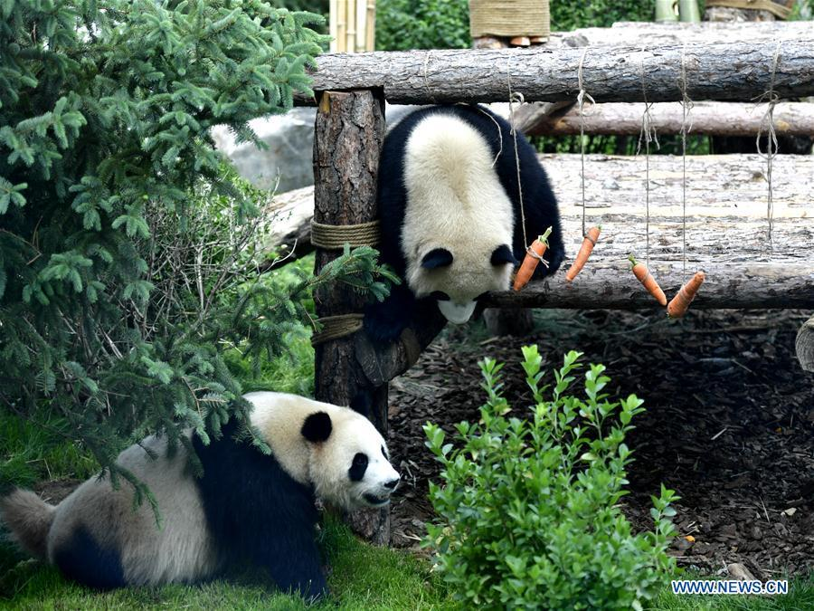 Two giant pandas are seen in the panda house in the Qinghai-Tibet Plateau Wild Zoo in Xining, capital of northwest China\'s Qinghai Province, June 16, 2019. The panda house in the Qinghai-Tibet Plateau Wild Zoo, where four pandas from the Chengdu Research Base of Giant Panda Breeding live, opened to the public here on Sunday. The four pandas settled down in the plateau city earlier this month. Qinghai Province will launch a series of education activities about giant pandas in the following three years. (Xinhua/Zhang Long)