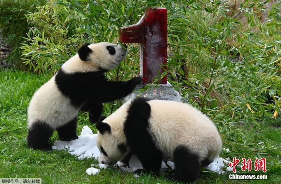 柏林动物园庆祝大熊猫双胞胎的第一个生日