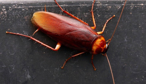 Scientists think cockroach milk could be the superfood of the future