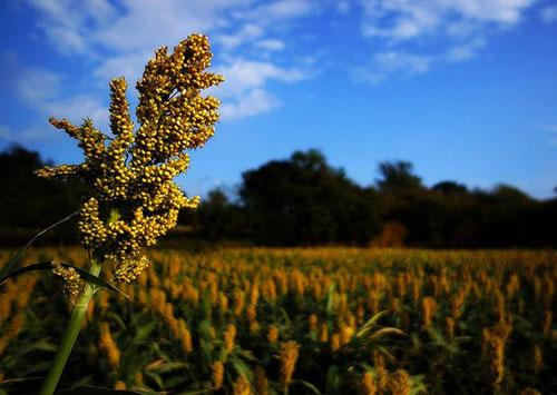 China to stop investigation into U.S. sorghum imports