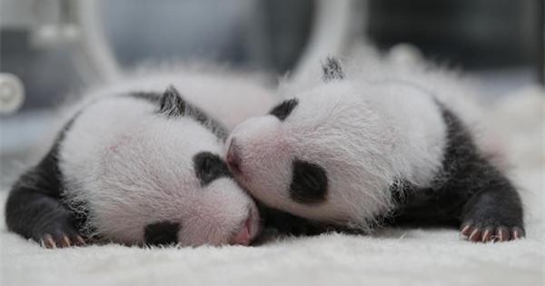 Captive panda twins meet visitors