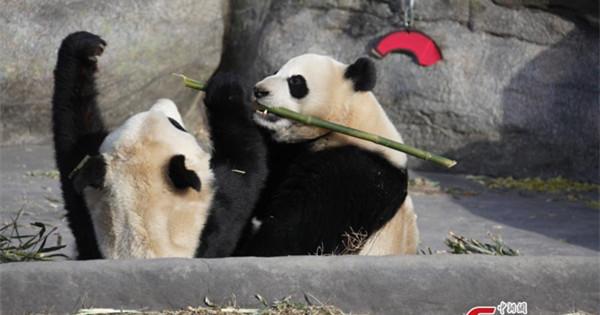 Toronto says goodbye to its beloved giant pandas