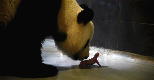 Giant panda gives birth to twin cubs in Macao