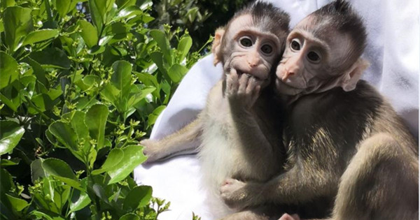 World's first cloned monkeys bask in the sun