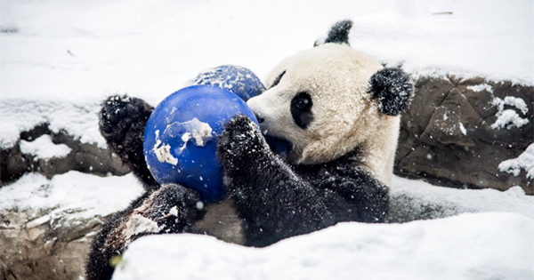Panda gets taste of snow play