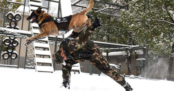 Police dogs trained at training base in Hefei, E China