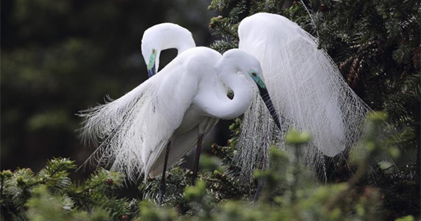 Egrets fly to Xiangshan Forest Park for migration