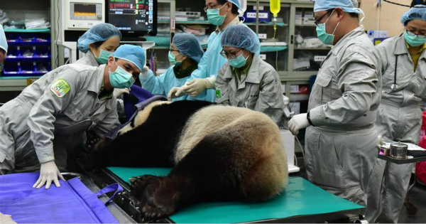 Female giant panda receives artificial insemination in Taipei