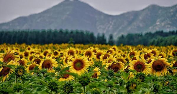 Scenery of oil sunflowers in Beijing