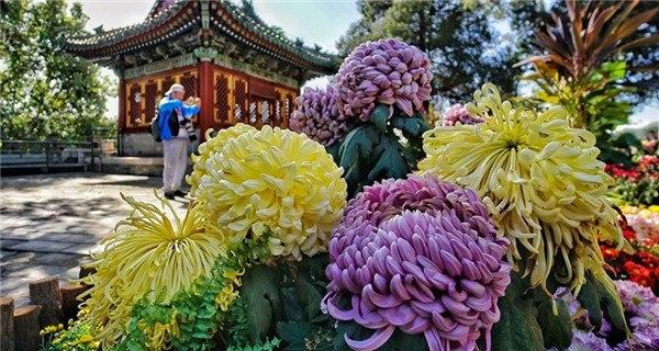 9th cultural festival of chrysanthemum flowers kicks off in Beijing