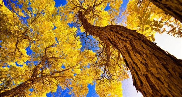 Bright-colored desert poplar forest attracts tourists