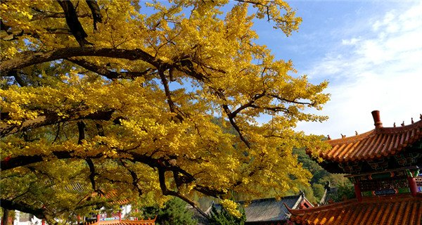 2,800-year-old gingko trees attract tourists to temple