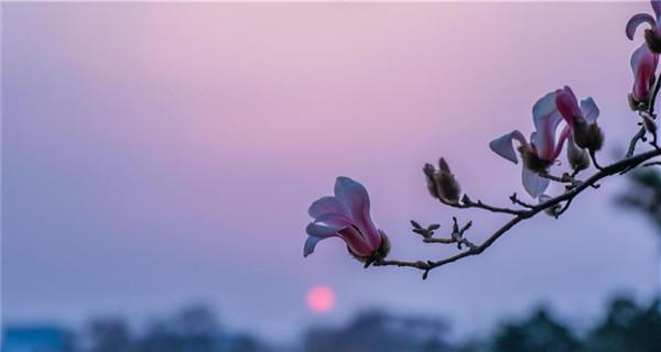 Magnolia blossoms seen in Beijing