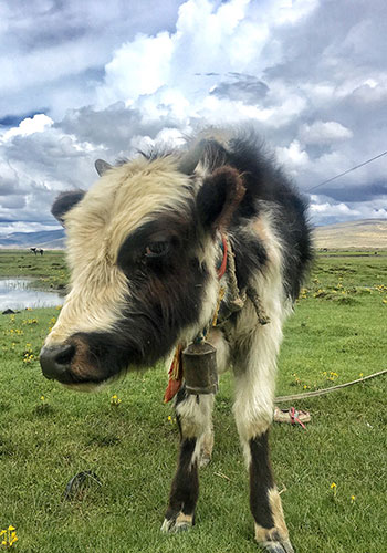 A yak on the plateau (Photo: Li Jingjing/GT)