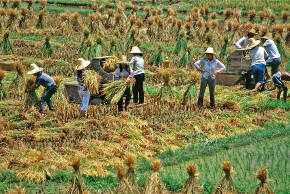Threshing the rice near Xingping 1993.(Photo by Bruce Connolly/chinadaily.com.cn)