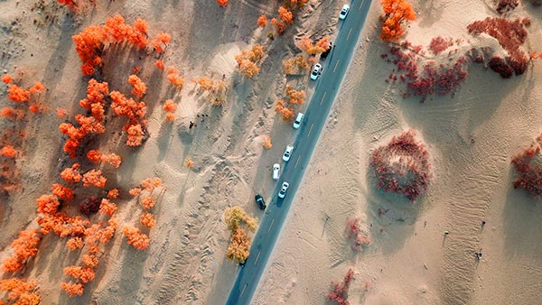 The Tarim Basin in Xinjiang harbors 54 percent of the world's riparian Populus euphratica. (Photo by Que Hure/China Daily)
