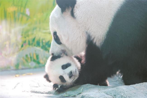 A giant panda, Qian Qian, caresses her cub who was born on October 10 last year at the Shanghai Wild Animal Park. The 5-month-old panda doesn't have a name yet. (Photo/Shine.cn)