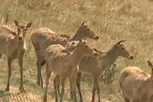 Ten milu deer released into the wild