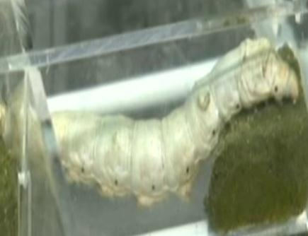 Silkworms spin cocoons in Tiangong-2