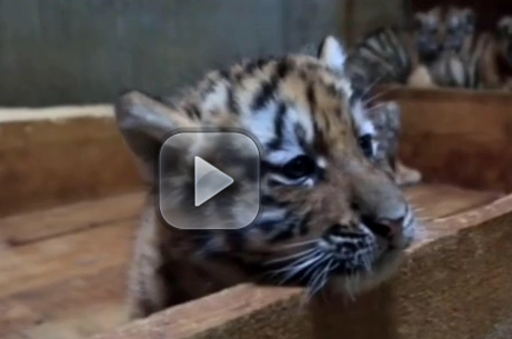 Rare quintuplet Siberian tigers born in NE China
