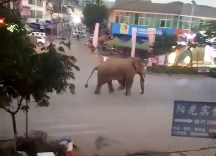 Wild elephant roams into township in Yunnan
