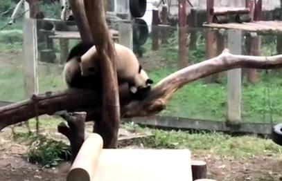 Pandas play-fight at Chongqing zoo