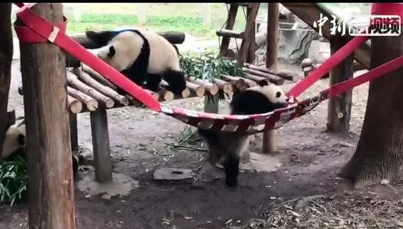 Pandas fumble into hammock at Chongqing Zoo
