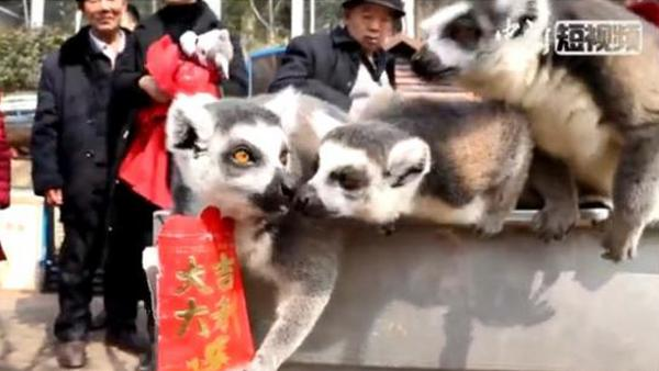 Lemurs fight over red envelopes at Chongqing zoo
